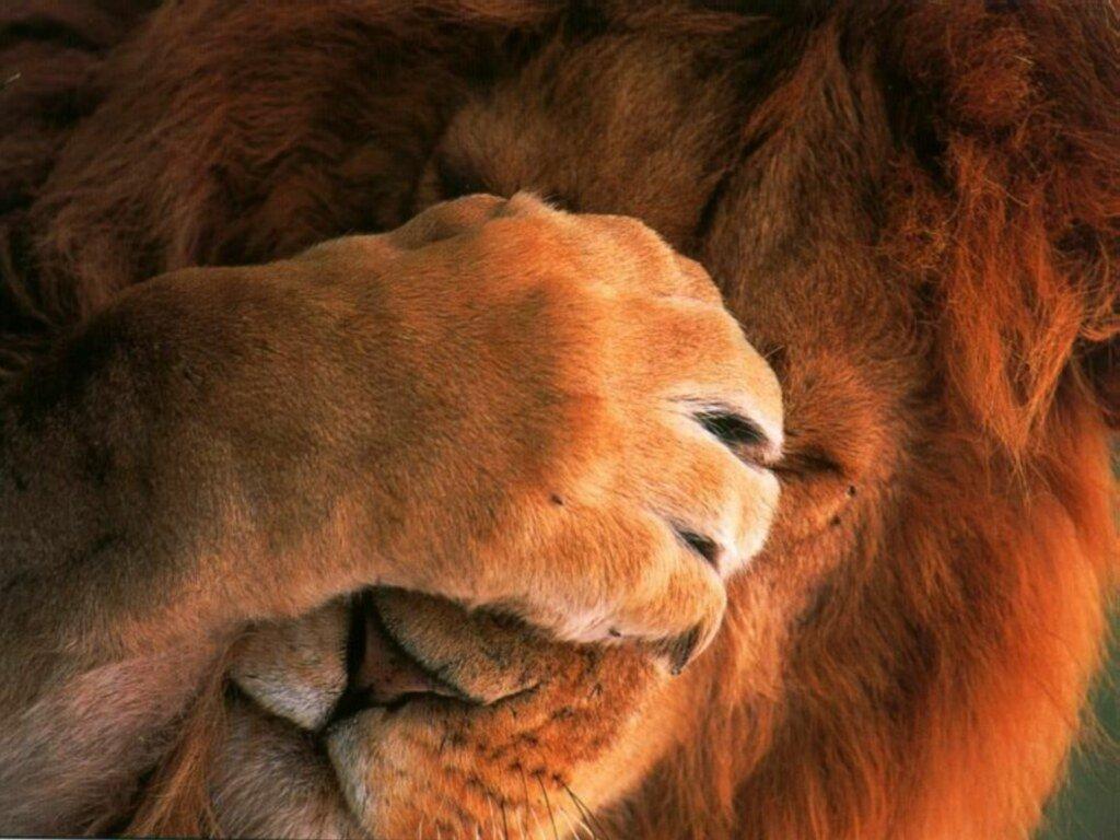 http://www.fullfondos.com/animales/leon_avergonzado/leon_avergonzado.jpg