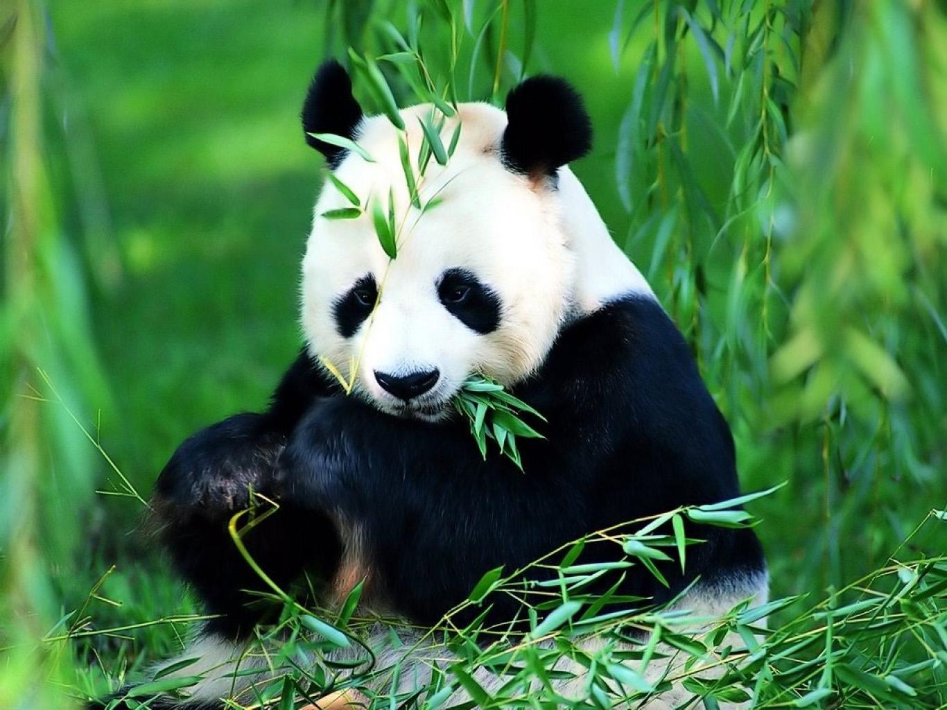 El Oso Panda (Buenas fotos)